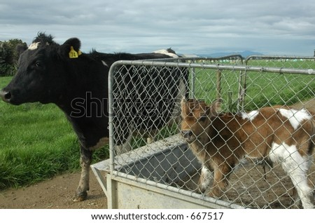 cow and calf - stock photo