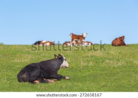 Cow and calves resting on thesummer meadow - stock photo