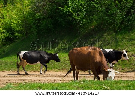 Cow, animal in the farm on the grass. meadow, field, grazing. Mammal cattle in summer on rural green nature on dairy. Landscape with pasture, sky. Farming beef. - stock photo