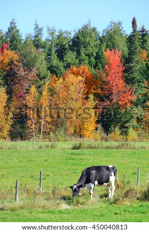 Cow at countryside in Stowe with Autumn mountains and forest - stock photo
