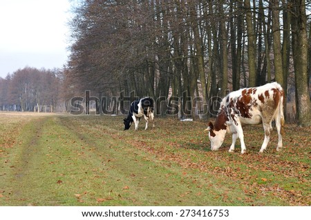 cow back grazing - stock photo