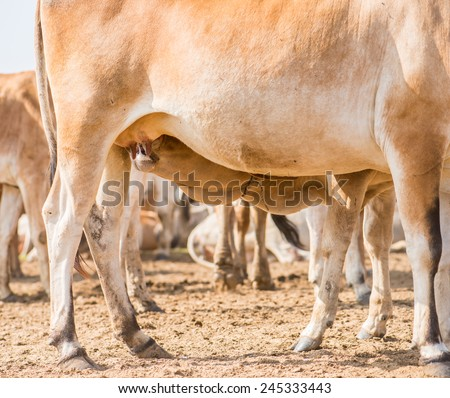 Cow-calf, calf sucking mother cattle in natural meadow - stock photo
