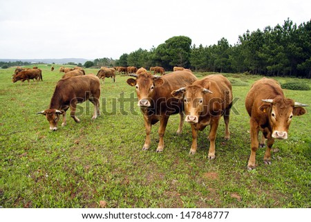 Cow cattle in the countryside from Portugal - stock photo