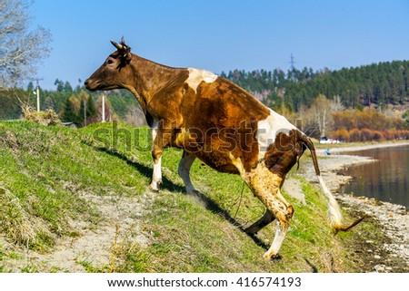 cow climbs the hill near river Irkut - stock photo