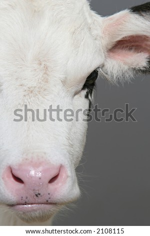 cow closeup - cute young calf with focus on eye - stock photo