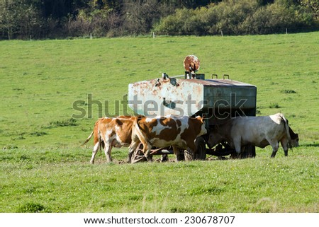 Cow comes to drink water at the drinking tank  - stock photo