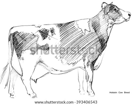 Cow. Cow sketch. Dairy cow pencil sketch. Animal farm. Holstein Cow Breed - stock photo