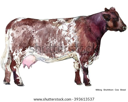 Cow. Cow watercolor illustration. Milking Cow Breed. Shorhthorn Cow Breed - stock photo