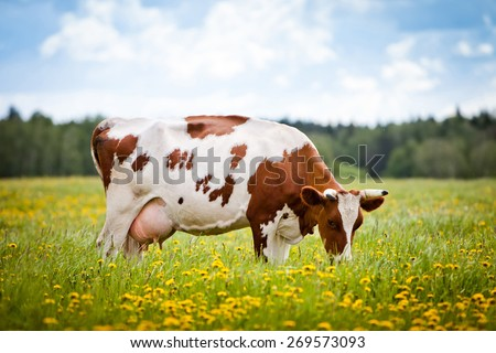 Cow eating grass in a field. - stock photo
