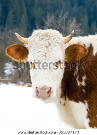 Cow eating hay next to the barn in winter - stock photo