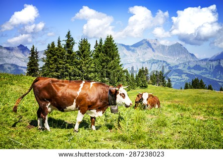 Cow, farm animal in the french alps, Abondance race cow, savy, beaufort sur Doron - stock photo