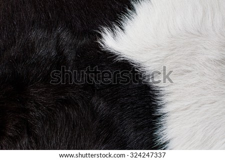 Cow Fur, Cow Hair and Skin. Black and White. Animal Background, Pattern, Wallpaper and Textured. Concept and Idea for Farm Life, Vintage Country Style, or Leather Industry. - stock photo
