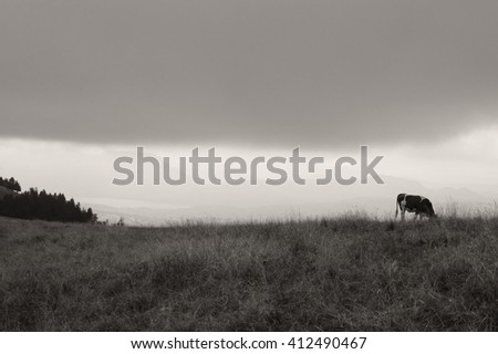 Cow grazing at alpine pasture in gloomy autumnal day. Silhouettes of Alps mountains at background. Selective focus in the cow. Black and white photo. - stock photo