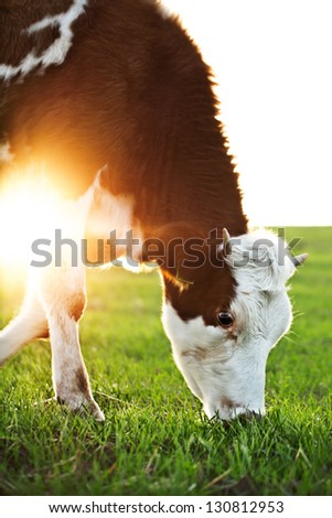 Cow grazing in fresh pastures - stock photo