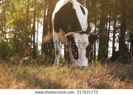 cow grazing in the forest - stock photo