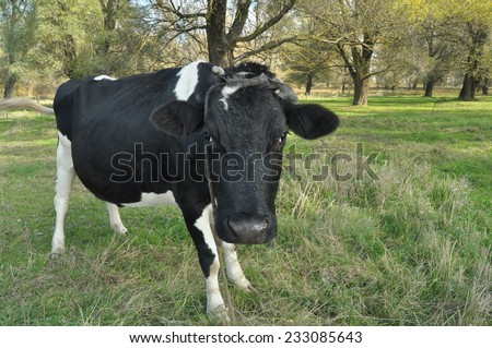 Cow grazing in the meadow. Close-up. Farm Animals on pasture. - stock photo