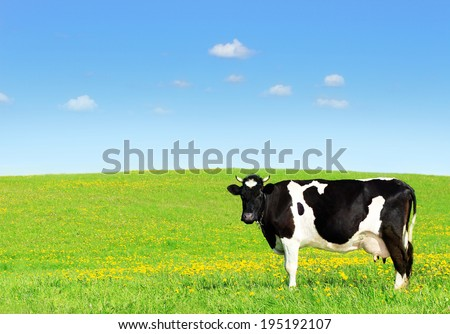 Cow grazing on a green meadow. - stock photo