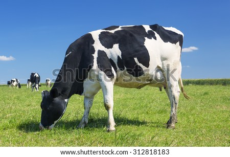 Cow grazing on a green meadow - stock photo