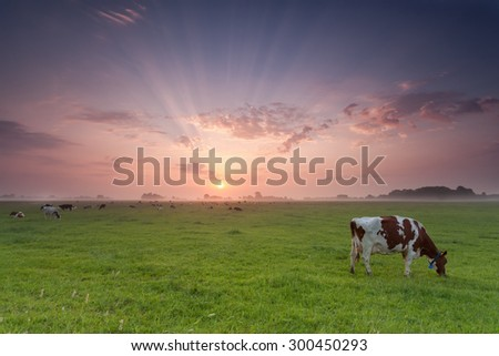 cow grazing on pasture at sunrise in summer - stock photo