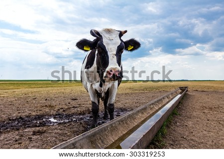 Cow, heifer is standing by a water metal trough in the summer meadow. - stock photo
