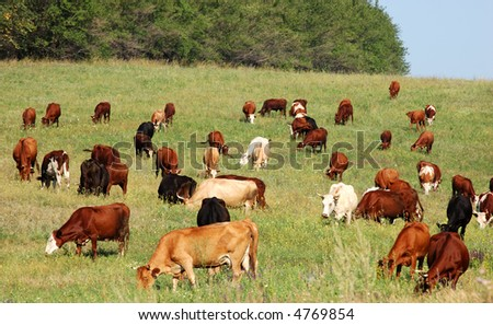 cow herd - stock photo