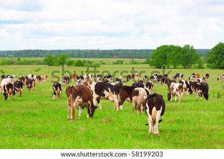 Cow herd - stock photo