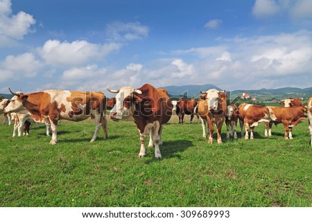 Cow herd in a field - stock photo