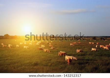 Cow herd in sunset - stock photo