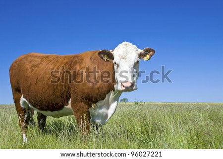 Cow Hereford, against blue sky. - stock photo