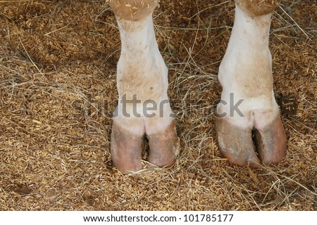 cow hoof feet - stock photo
