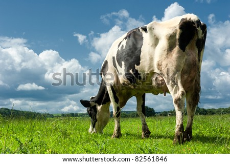 Cow in a beautiful sunlighted field. - stock photo