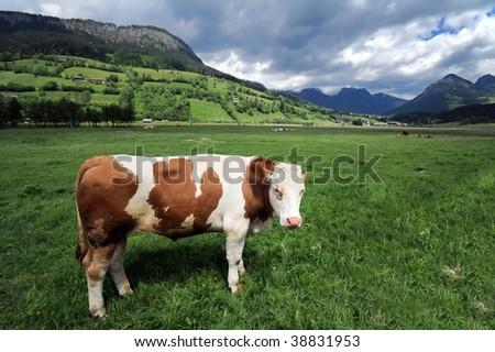Cow in a grass field near Bad Mitterndorf, Alps, Austria - stock photo