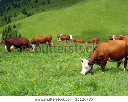 Cow in a high mountain pasture, France - stock photo