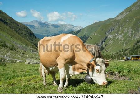 Cow in alpine landscape - stock photo