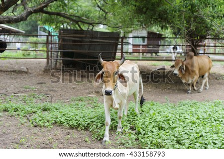 cow in country side - stock photo