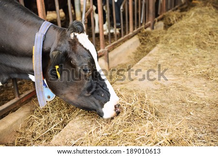 Cow in farm - stock photo