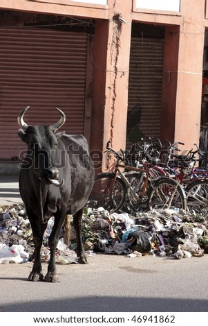 Cow in India - stock photo