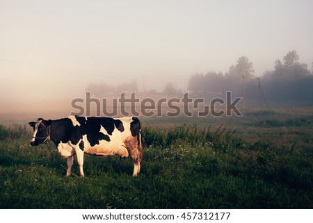 cow in meadow on pasture at sunrise in fog - stock photo