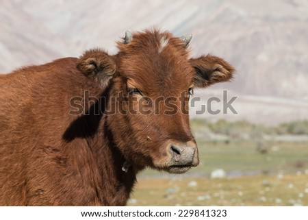 cow in Nubra Valley in Ladakh  north india - stock photo