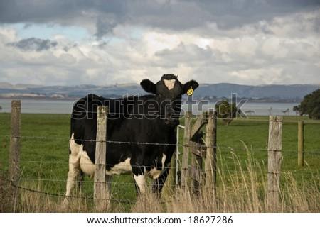 Cow in paddock, Wairarapa, New Zealand - stock photo