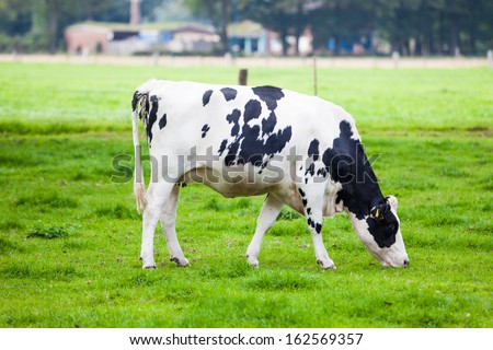 Cow in the field. Cow grazing in fresh pastures - stock photo
