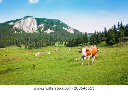 Cow in the fields looking on - stock photo