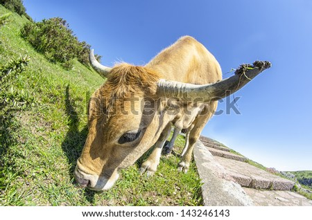 Cow in the foreground in the Picos de Europa,Asturias - stock photo