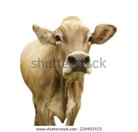 Cow isolated on white looking into camera - stock photo