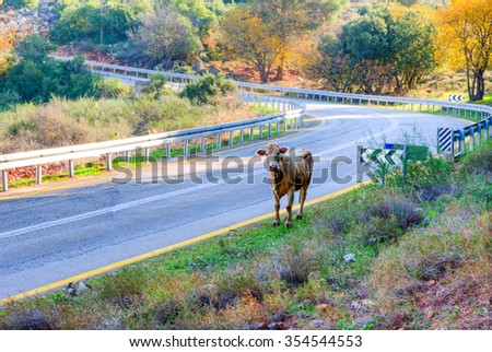 Cow lags behind the herd goes on asphalt road - stock photo