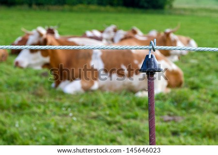 Cow on a paddock - Focus on foreground - stock photo