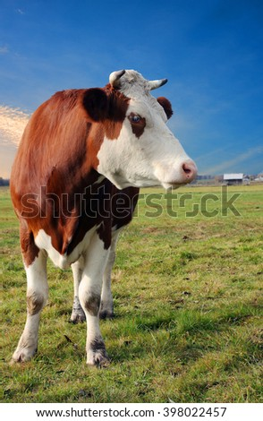 cow on a rural pasture in closeup, portrait - stock photo
