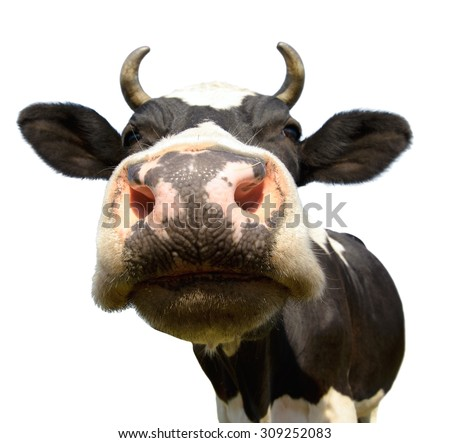 cow on grassland,  put  muzzle close-up on camera, on white background, isolated - stock photo