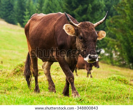 Cow on green mountain hills. Tasty milk . Cute cow eating grass . Animals in Alps . - stock photo