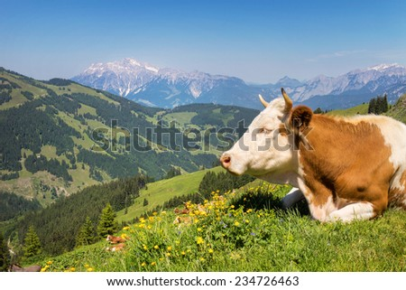 Cow on mountain pasture in the alps - stock photo